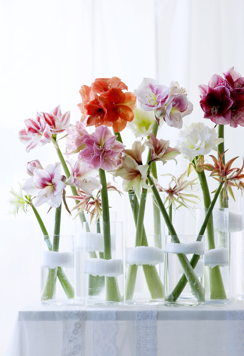 veelzijdige amaryllis mooi wat bloemen doen. Black Bedroom Furniture Sets. Home Design Ideas