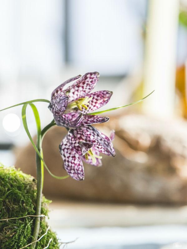 Fritillaria Mooiwatbloemendoen.nl