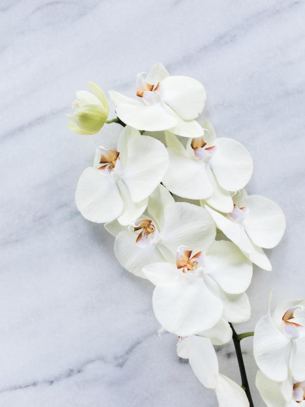 Phalaenopsis Mooiwatbloemendoen.nl