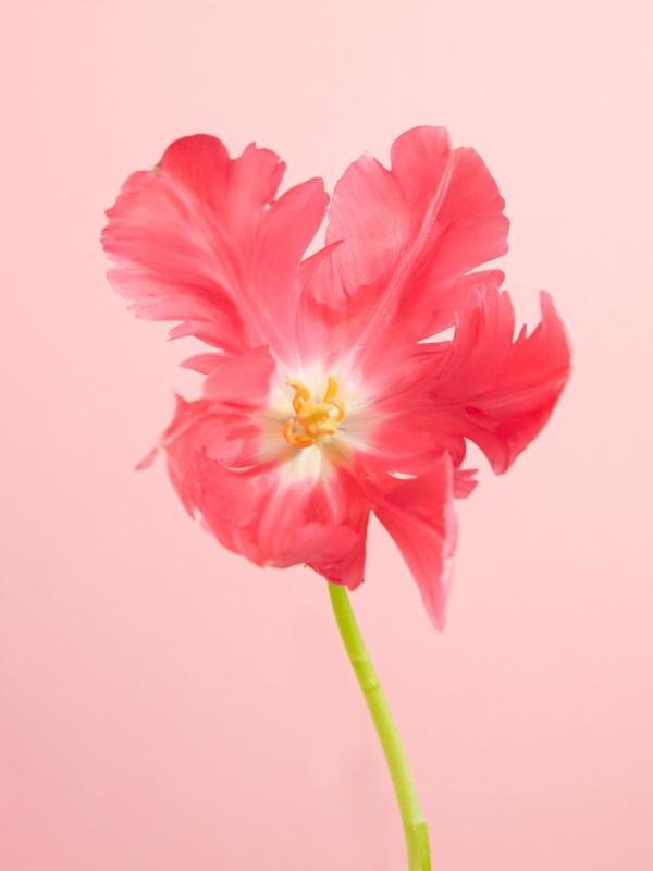 Tulpen Mooiwatbloemendoen.nl